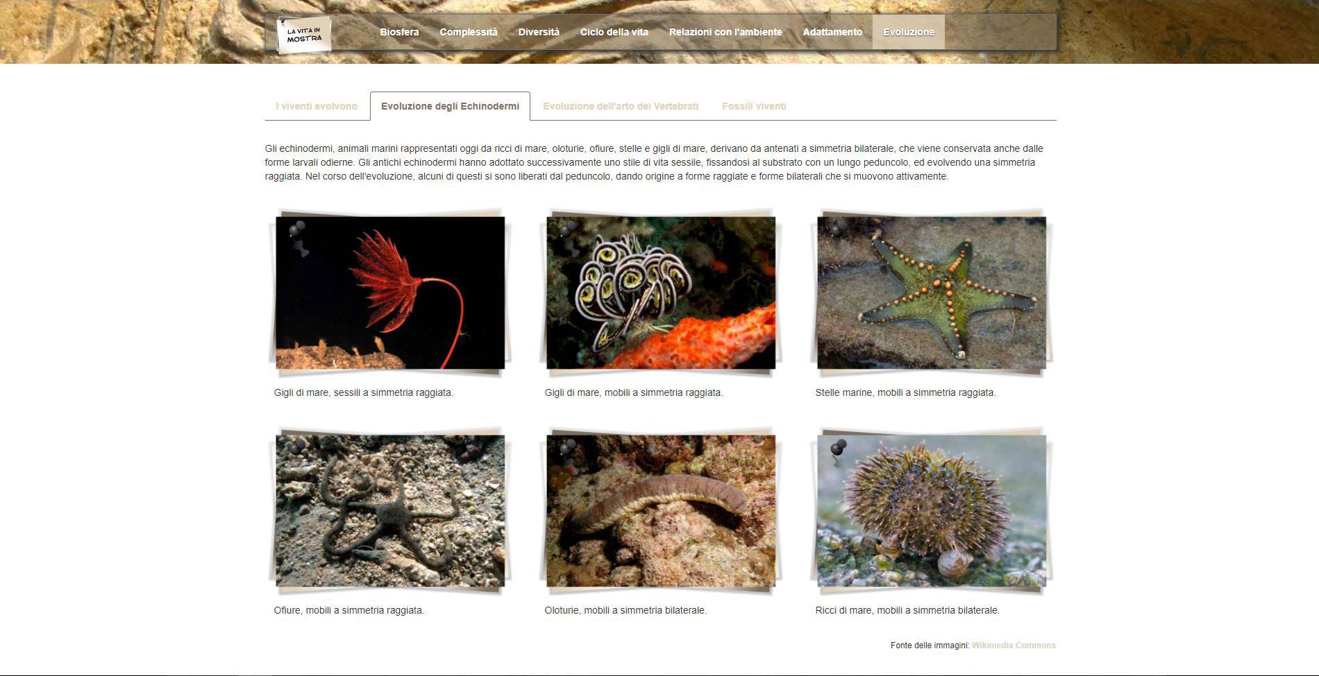 Evoluzione degli Echinodermi